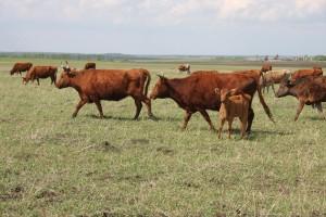 коровы идут